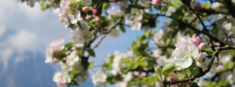 Rosa Blüten - stehen für Neuanfang und eujahrsvorsätze