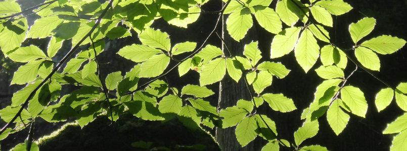 Grünes Blätterdach